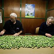 Nederland Geervliet 10 oktober 2006.Spruiten oogsten door akkerbouw bedrijf B.Piek Over een lopende band worden de spruiten langsgevoerd, de slechte exemplaren worden verwijderd. .Foto David Rozing