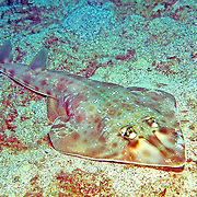 Chola (Southern) Guitarfish inhabit sand and soft bottoms in the southern Caribbean to Brazil; picture taken Mochima National Park, Venezuela.
