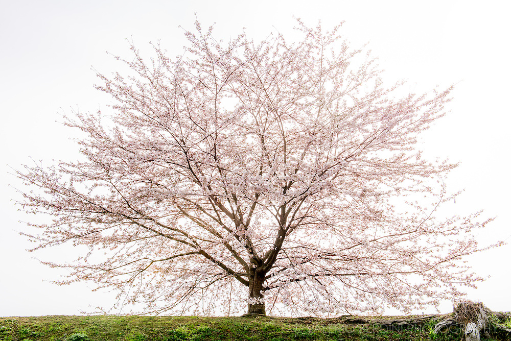 The perfect harmony of a cherry tree in full bloom. Hikone Castle, Japan