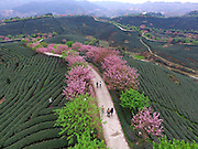 March 15, 2016 - Zhangping, China - <br /> <br /> Aerial view Cherry Blossoms in a Tea Garden in China<br /> <br /> Visitors walk on a road under cherry blossom surrounded by tea garden in Yongfu Town of Zhangping City, southeast Chian's Fujian Province, March 15, 2016. Blooming cherry and fresh tea leaves there formed an attractive picture.<br /> ©Exclusivepix Media