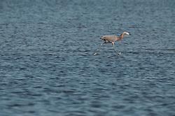 Reddish Egret (Reddish Egret (Egretta rufescens), Merritt Island National Wildlife Refuge, Titusville, Florida, US