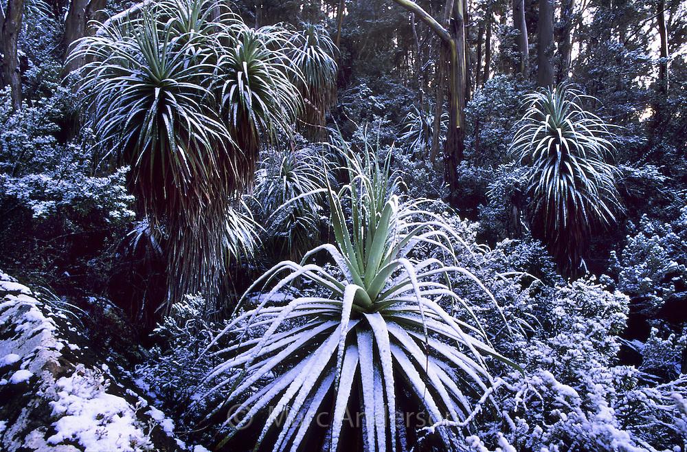 Pandani Trees, Richea pandanifolia, covered with snow,  Mt Field National Park, Tasmania