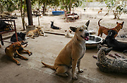 A group of rescued dogs rest in the patio area of the Yangon Animal Shelter, Myanmar. The shelter harbors about 500 off leash dogs.