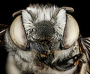 Stunning pictures of bees show the insects as you've never seen them before - with fluffy 'hair' and stained-glass wings<br /> <br /> These incredibly detailed pictures of bees will make you think twice about swatting away the stinger plaguing your late summer picnic. <br /> Sam Droege is the head of the U.S. Geological Survey's Bee Inventory and Monitoring Laboratory in Beltsville, Maryland and for the past six or seven years he and his team of about eight people have been photographing bees and other insects. <br /> <br /> 'We really like the idea that all of these pictures are public domain, anyone can grab them for free,' <br /> 'They don't actually have to attribute them to us. I think it shows that government tax dollars are being used wisely.'<br /> But it wasn't until around 2010 that the quality of the images got to where they are now.<br /> For years they used simple point and shoot cameras, but then the army shared their technique for capturing insects using macro photography. <br /> Mr Droege says that the army developed the technique when they were dealing with insect infestations and other problems in remote areas. <br /> Macro-photography allowed them to get a high-quality picture and send it to experts for identification. <br /> <br /> They passed along their technique to the USGS, and Mr Droege modified it to be done in a lab as opposed to the mobile set-up the army developed. <br /> The macro photography allows you to see every detail of the insect up close without needing to use a microscope. <br /> So far, Mr Droege says he has yet to find an insect that looks ugly when it's blown up. Even cockroaches look beautiful with their shimmering coloring and sculpturing. <br /> Currently the USGS has posted 1,200 pictures of bees and other insects to its Flickr page. <br /> The pictures are taken using a 'pretty standard' Canon  5D II with a 65mm macro lens. <br /> Mr Droege says that it takes about two to four hours to complete one picture, from washing and prepping the bee to photoshopping the image. <br /> The bees are placed on a pin a