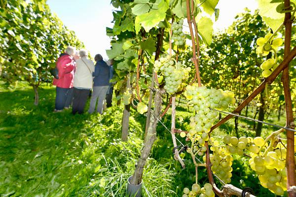 Nederland, Dodewaard, 30-9-2012Open dag bij wijngaard s-akker.Foto: Flip Franssen/Hollandse Hoogte