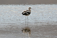 American Avocet photo Hawaii
