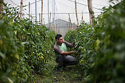 Wilber Montano, 24, caretaker of one of the greenhouses from the agricultural project ran by MUFRAS-32 named COPESENFRAS, checks the bell pepper plants. Pacific Rim's controversial El Dorado gold mine has been the focus of numerous social conflicts at local and national level. Three anti-mining local leaders were murdered in 2009. While a year before, former president Antonio Saca refused to authorize the company's mining permit. This action prompted Pacific Rim to invoked a provision of the Central American Free Trade Agreement (CAFTA) to place the matter in the hands of an international arbitration court. Oceana Gold, who took over Pacific Rim on October 2013 for US $10.2 million , now seeks US $300 million for damages agains the State of El Salvador. San Isidro, Cabañas, El Salvador. September 16, 2014.
