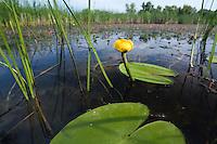 Yellow water-Lily, Nuphar luteum, Backwater of Latorica River, Eastern Slovakia, Europe, Gelbe Teichrose, Nuphar luteum, Latorica Altwasser, Slowakei, Europa