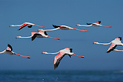 Flock of Greater flamingo {Phoenicopterus ruber}