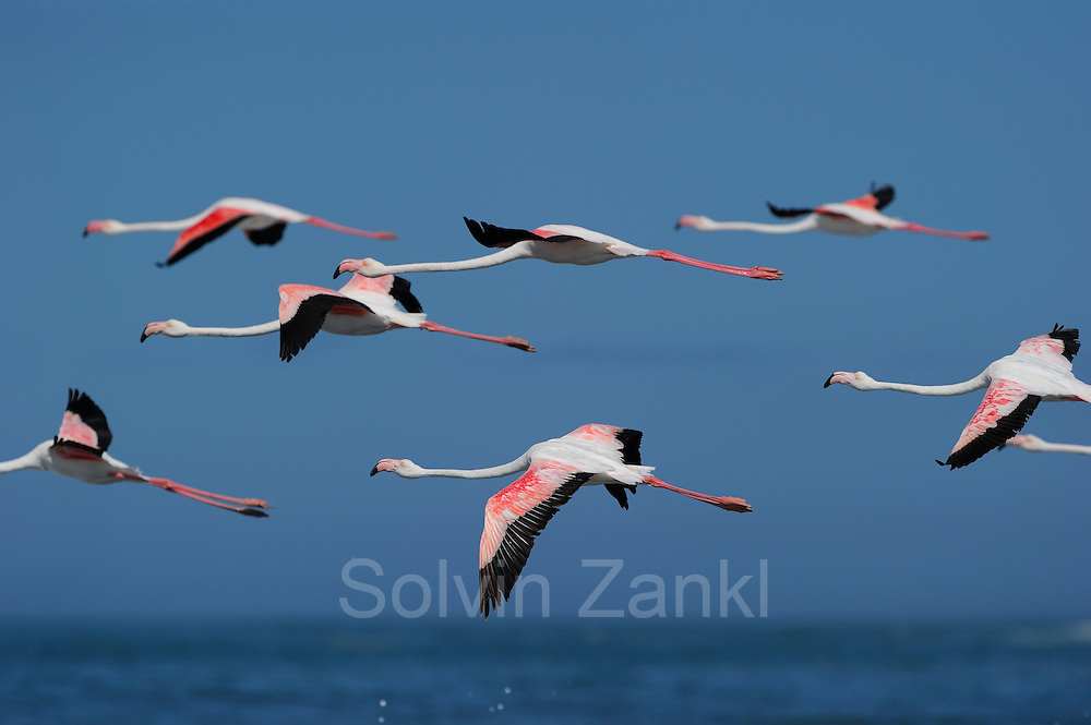 Flock of Greater flamingo {Phoenicopterus ruber}