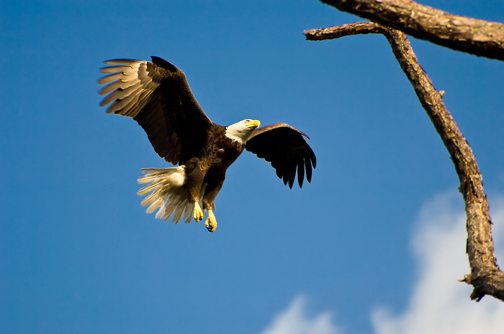 Bald eagle flying overhead in the Estero Bay Preserve in Lee County, Florida.