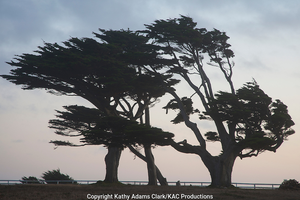 Wind swept cyress trees, Cuperessacae, on the Northern California coast.