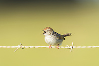 Grey-backed cisticola calling from a farm fence, Overberg, Western Cape, South Africa