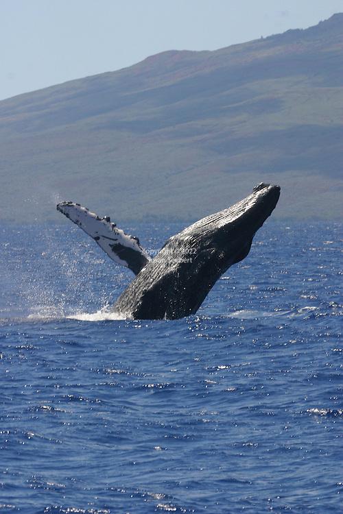 Breaching Humpback Whale off the coast of Maui