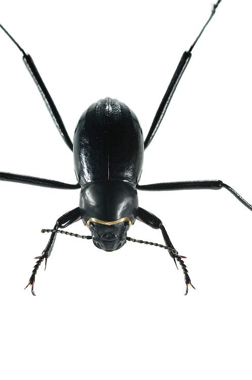 Gemeinsam mit etwa zweihundert anderen Arten von Schwarzkäfern bewohnt der Nebeltrinker-Käfer (Onymacris unguicularis) die Dünen der Namib. Für den Laien sind die meisten Schwarzkäferarten fast gar nicht voneinander zu unterscheiden. Alle haben sehr lange Beine, die einerseits den Körper möglichst weit über den brennendheißen Sand halten und andererseits hohe Laufgeschwindigkeiten ermöglichen. Zu den Schwarzkäfern Namibias zählt auch der schnellste Käfer der Welt, der in 1 Sekunde ca. 1 m zurücklegen kann.