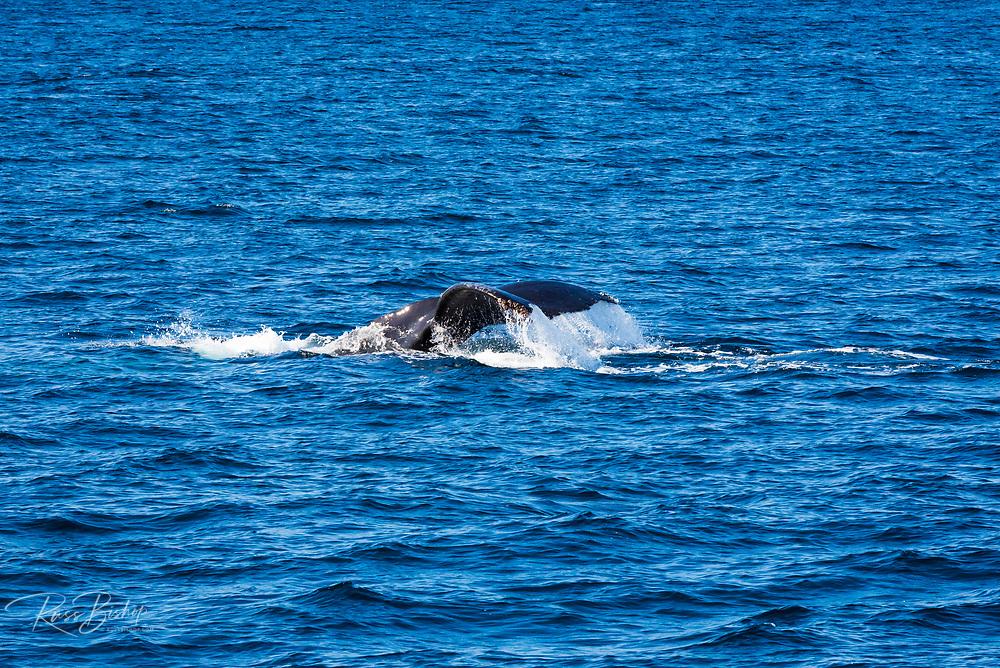 Humpback whale off Santa Cruz Island, Channel Islands National Park, California USA