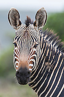 Portrait of a Cape Mountain Zebra stallion, De Hoop Nature Reserve and Marine Protected Area, Western Cape, South Africa