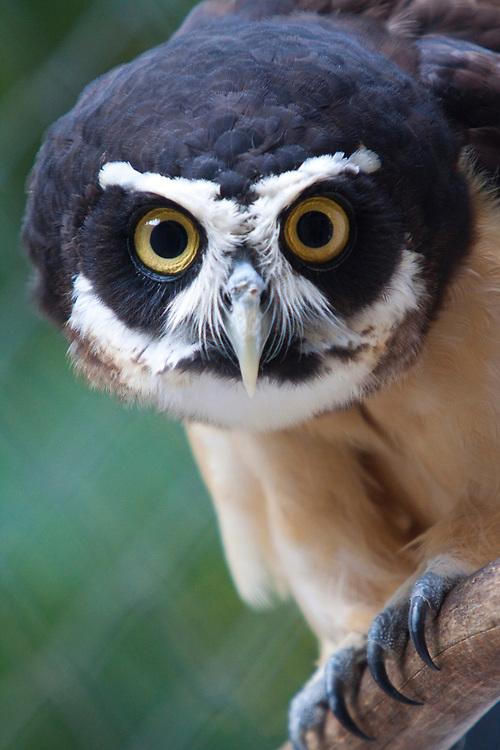 Parauapebas_PA, Brasil...Floresta Nacional de Carajas em Paraupebas, Para. Na foto uma coruja...The Carajas National Forest in Paraupebas, Para. In this photo an owl...Foto: JOAO MARCOS ROSA / NITRO..