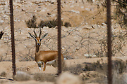 Gazelle behind a fence in military area. Negev, Israel. Closed military areas have become a safe haven for wildlife