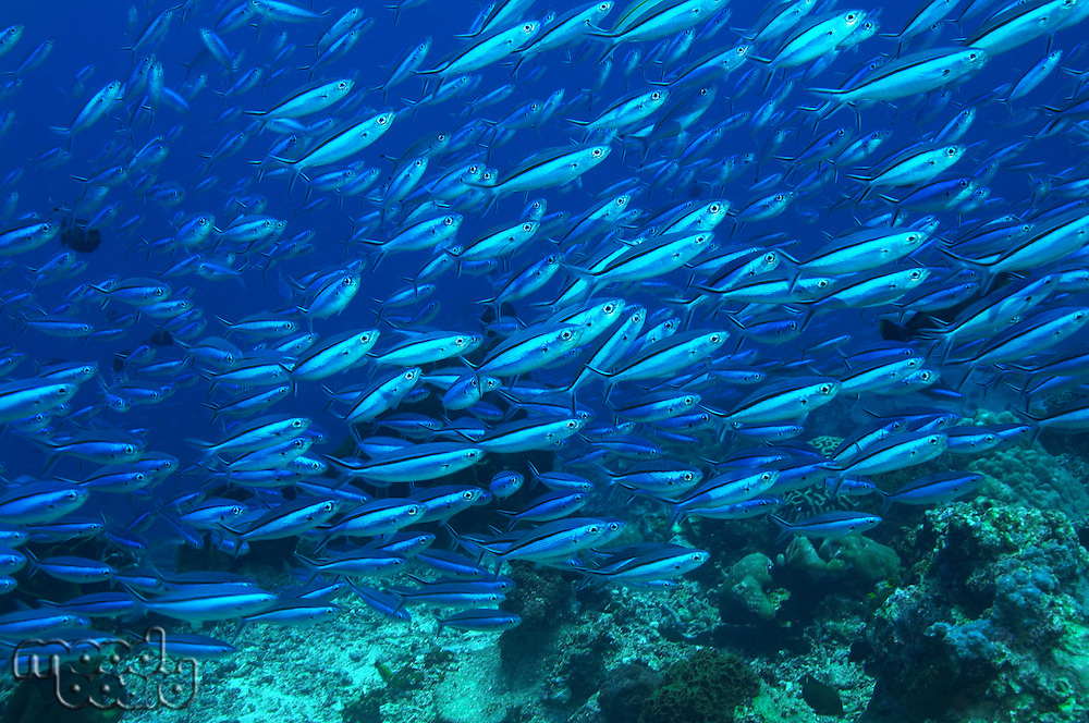 Large school of tropical fish in ocean