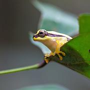 Yellow frog. The Los Amigos Conservation Concession run by the Amazon Conservation Association and the Asociación para la Conservación de la Cuenca Amazónica. The concession is on the Rio Madre de Dios and the Rio Los Amigos. It protects lowland rainforest in the Los Amigos - Tambopata Conservation Corridor and has a biological research station called CICRA.