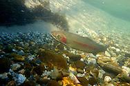 Steelhead<br /> <br /> Todd Pearsons/Engbretson Underwater Photography