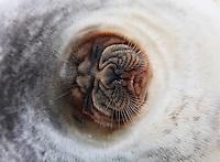 Animals; Arctic; Arktis; Dyr; ENG-ANIMALS-EU_ver03/01/2009_©NATURFOKUS; Europa; GEOGRAFI; LAND/BYER/STEDER; Mammals; NO-ANIMALS-EU_ver03/01/2009_©NATURFOKUS; Norge; Norway; Pattedyr; Phoca hispida; Pinnipedia; Pinnipeds; Ringed Seal; Ringsel; Seals; Seler; Skandinavia; Slettemappe; Spitsbergen; Svalbard; VILLE DYR; WWE; Wildlife