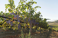 Grapevines in row in valley