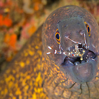 Alberto Carrera, Giant Moray with Cleaner Shrimp, Moray Eel, Gymnothorax javanicus, Commensal Shrimp, Palaemonidae, Lembeh, North Sulawesi, Indonesia, Asia