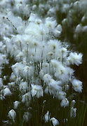 Cotton Grass, Tundra, Pond, Wildflowers, White flower, Denali National Park, Alaska