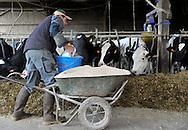 20/05/14 - MARCILLY LE CHATEL - LOIRE - FRANCE - GAEC des Gaulois de la famille Chazal. Complement de tourteau de colza et de tournesol plus ble en grain - Photo Jerome CHABANNE