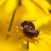 No rest for the weary as this bee collects pollen from a Black-Eyed Susan in the summer heat