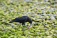 Northwestern Crow (Corvus caurinus) (Also poss. American Crow) feeding on fish,  Vancouver Island, French Creek , British Columbia, Canada