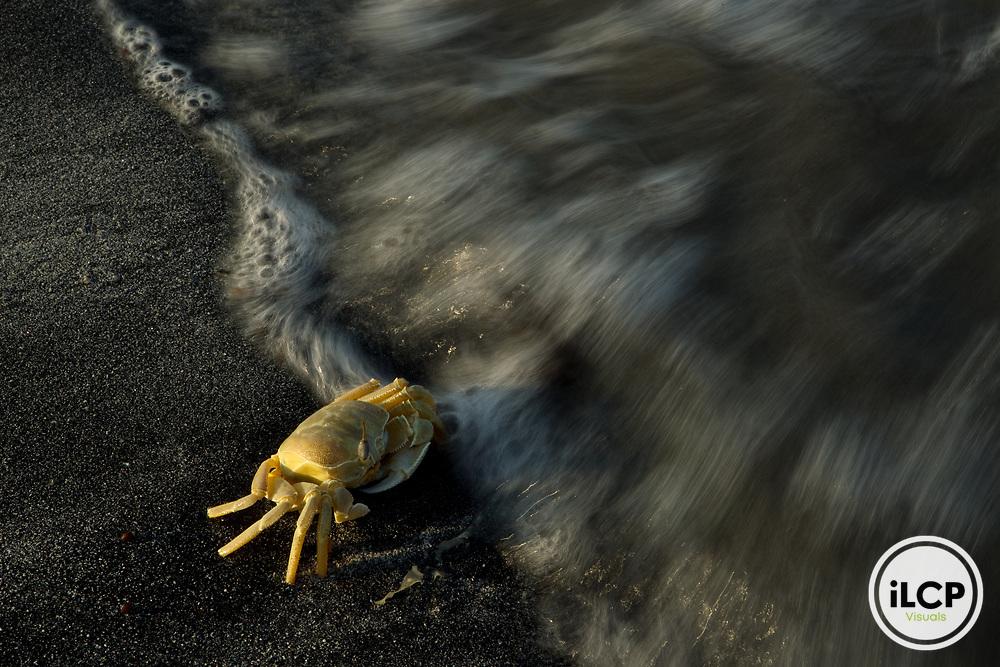 Red Sea Ghost Crab (Ocypode saratan) entering water, Salalah, Oman
