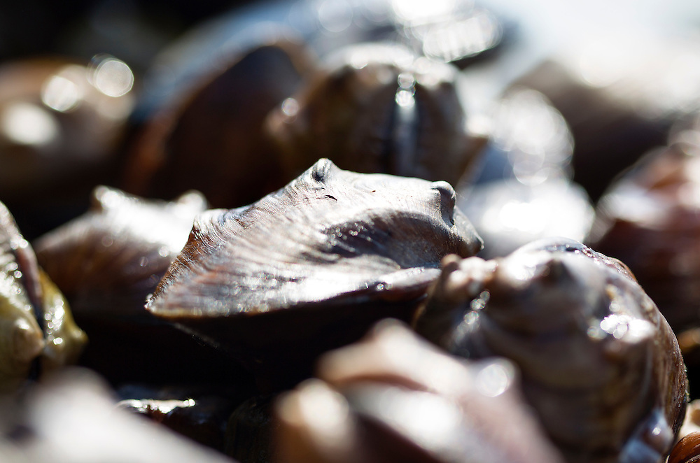 Collected native mussels are counted, identified, and measured before they are returned to the Mississippi River August 14, 2015.