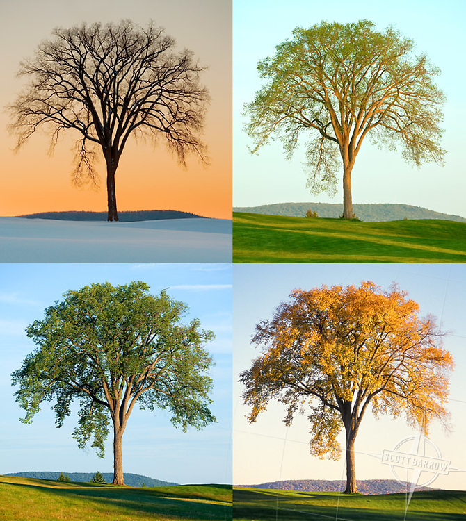 Best_In_Show.  Four seasons of an elegant elm tree.