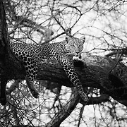Leopard hidden in tangle of branches, Tarangire National Park, Tanzania