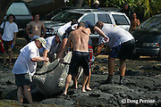 NOAA biologists carry off RM 34, an aggressive adolescent (about two and a half years old) male Hawaiian monk seal, Monachus schauinslandi ( Critically Endangered Species ), to be relocated for the second time, Honaunau, Hawaii Island ( the Big Island ). RM 34 was relocated 3 times. After returning to populated areas twice he was moved to remote Johnston Atoll and promptly disappeared.