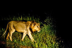 A wild male lion walks behind the pride of 15 others, getting ready for the hunt. Photographed at South Luangwa National Park, Zambia. *50% of the proceeds from this image will go to Conservation  the South Luangwa , which plays a huge role in the conservation of wildlife and community development in the Luangwa valley. Thanks for your support!