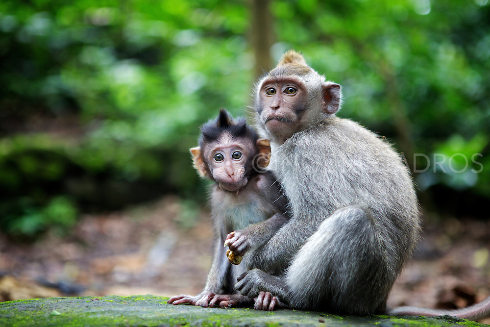 Monkeys in Monkey Forest in Ubud. &copy;Ingetje Tadros<br /> www.ingetjetadros.com Exclusive at Getty Images.<br /> http://www.gettyimages.com.au/Search/Search.aspx?contractUrl=2&amp;language=en-US&amp;assetType=image&amp;p=ingetje+tadros