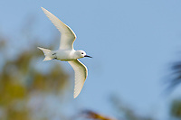 Fairy Tern in flight, D'Arros Island and St Joseph Atoll, Amirantees, Seychelles,