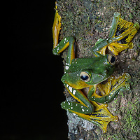 Wallace's Flying Frog, Rhacaphorus nigropalmatus, in the Borneo Highlands of Sarawak