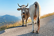 two swiss cows on a mountain road