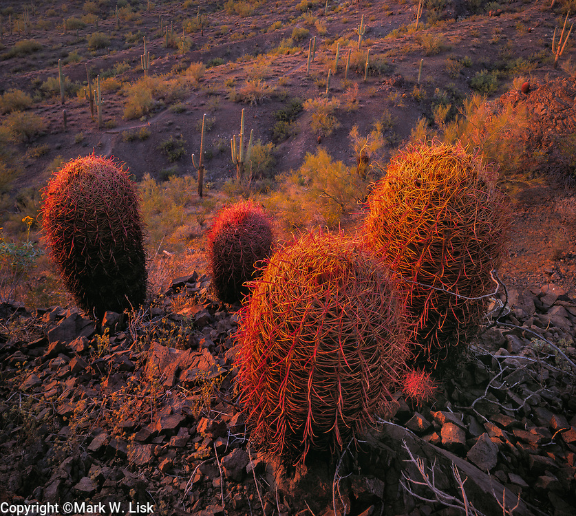 Sunsets on Fish Hook Cactus, Pichacho State Park, Tucson.