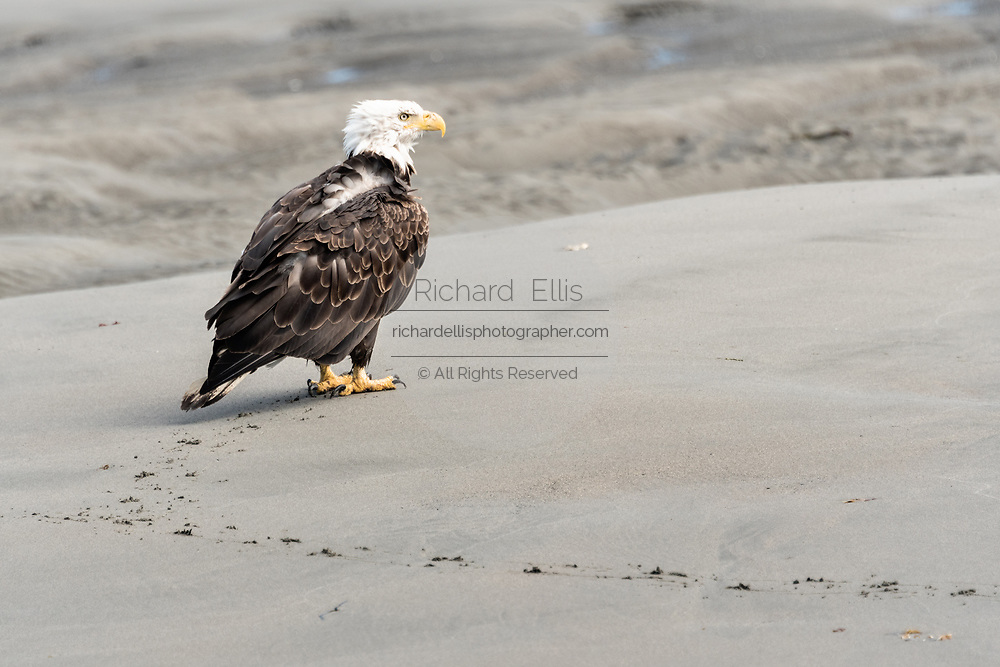 An adult bald eagle walks along the beach as it tries to dry out after getting soaked by a wave while hunting for a fish at Anchor Point, Alaska.