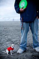 A tiny Chihuahua dog in a red sweater with it's owner holding a green frisbee at  Fort Stevens State beach.