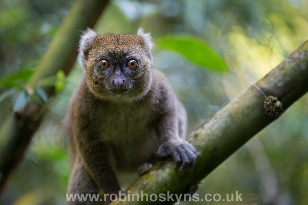 The greater bamboo lemur (Prolemur simus), is one of the world's most critically endangered primates with only 500 known individuals in the wild.