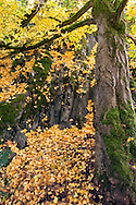 Ginkgo biloba (also known as the Maidenhair Tree) leaves on the ground under a tall Ginkgo tree.  Photographed from one of the many paths in the Quarry Gardens at QE Park in Vancouver, British Columbia, Canada.