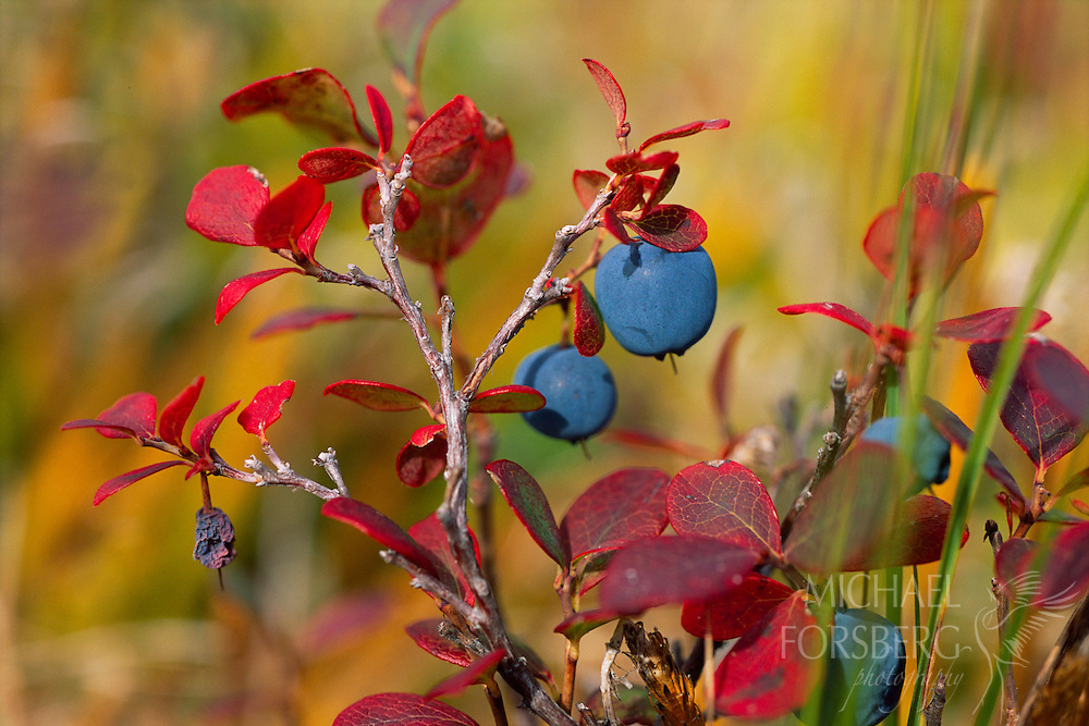 Blueberries ripen in Denali National Park, Alaska