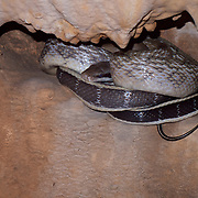 The Cave Dwelling Snake or Cave Racer inhabits limestone caves of Thailand. It is considered a specialised subspecies of the more widespread Orthriophis taeniurus.